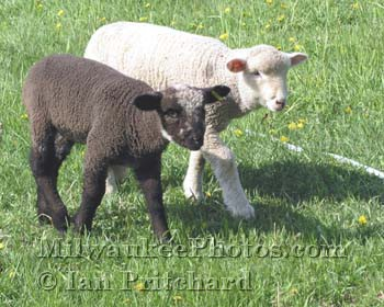 Photograph of Black and White Lambs from www.MilwaukeePhotos.com (C) Ian Pritchard