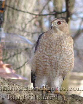 Photograph of Coopers Hawk from www.MilwaukeePhotos.com (C) Ian Pritchard