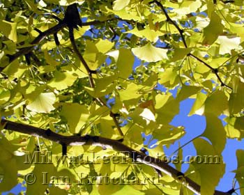Photograph of Ginko Tree from www.MilwaukeePhotos.com (C) Ian Pritchard