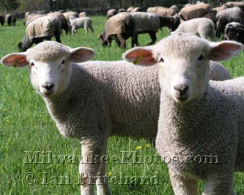 Photograph of Sheep from www.MilwaukeePhotos.com (C )Ian Pritchard