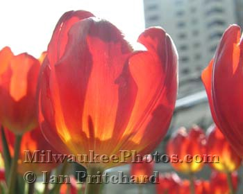 Photograph of Sunlit flowers from www.MilwaukeePhotos.com (C) Ian Pritchard