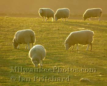 Photograph of Sunset Sheep from www.MilwaukeePhotos.com (C) Ian Pritchard