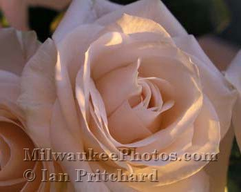 Photograph of White Rose in Morning from www.MilwaukeePhotos.com (C) Ian Pritchard